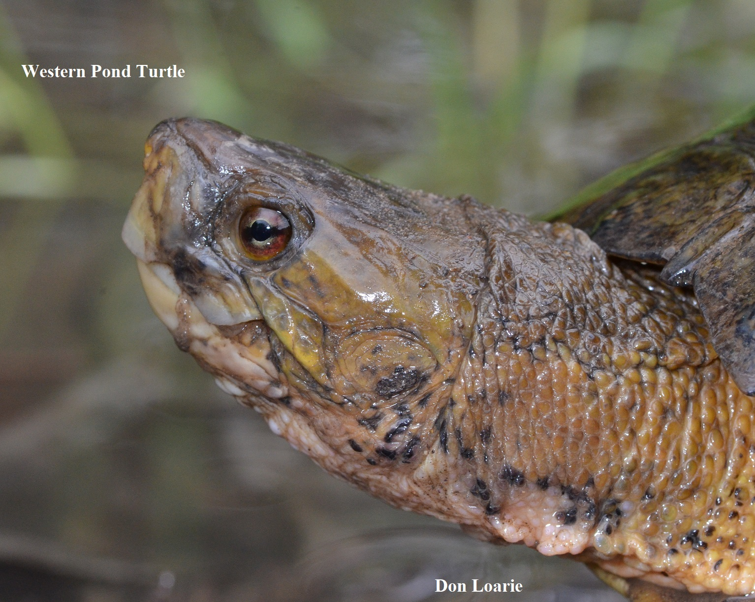 1 Western Pond Turtle Don Loarie