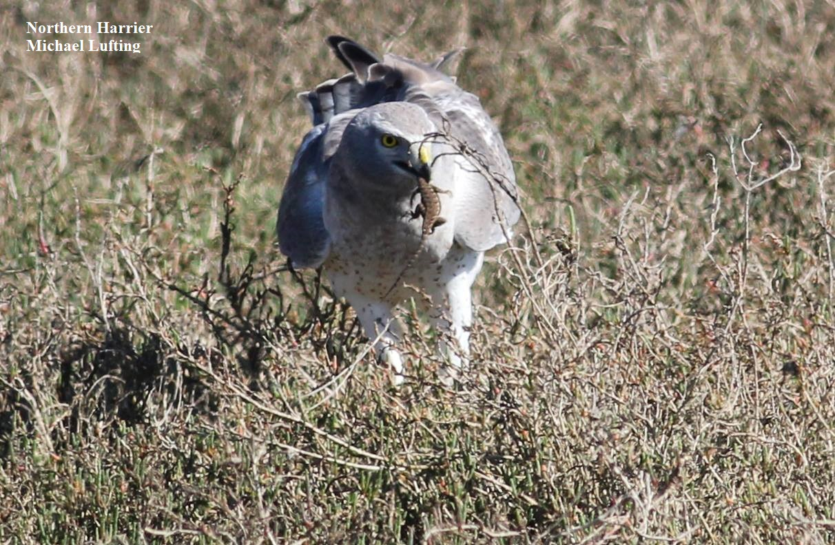 1 Northern Harrier Michael Lufting