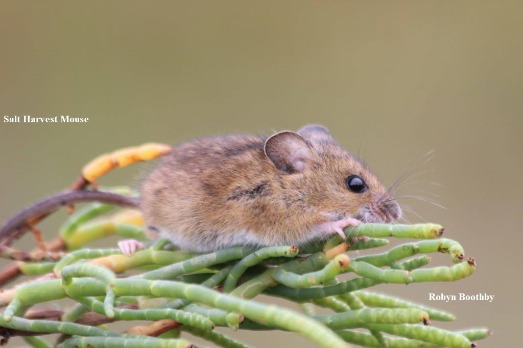 1 Salt Harvest Mouse Robyn Boothby