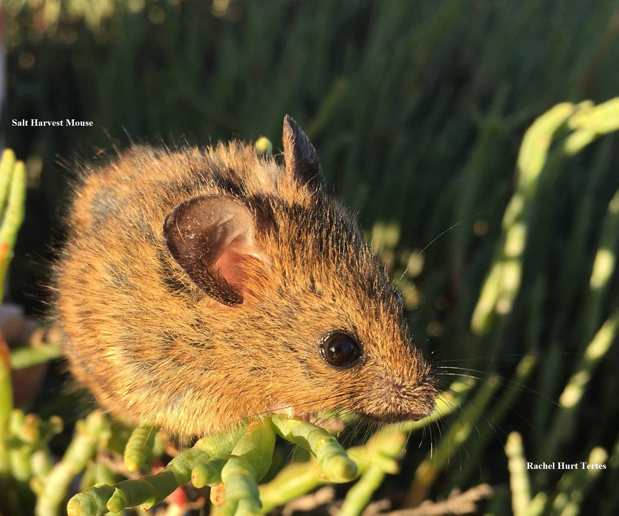 2 Salt Harvest Mouse Rachel Hurt Tertes